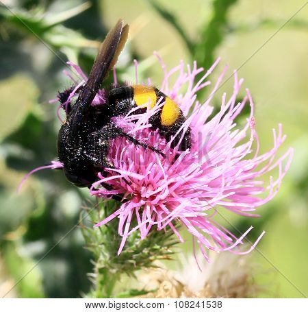 Wasp on a thistle.