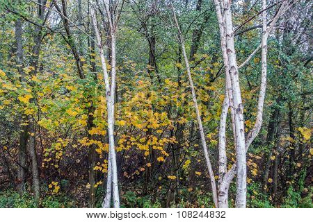 Aspen Trees At Seahurst Park