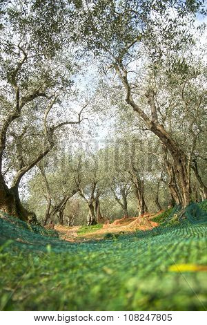 The Olive Harvest