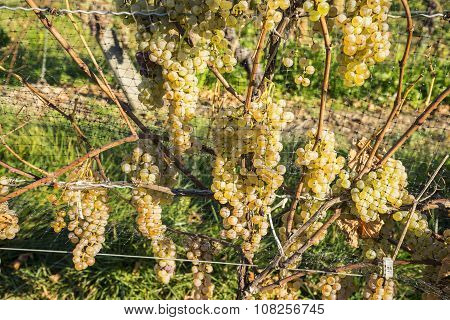 Vidal White Wine Grapes Protected by Nets from Birds in a Vineyard