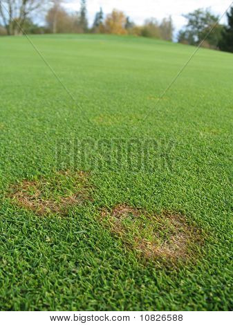 fusarium fungus on green