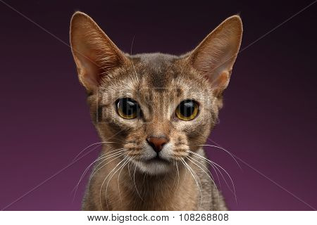 Close Up Portrait Of Beautiful Abyssinian Cat On Purple Background