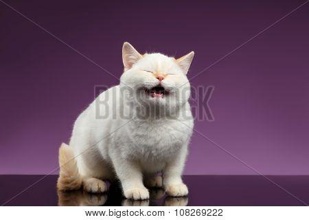 Blue Eyed British Kitten Meowing On Purple