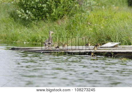 Ducks on a raft in the pond