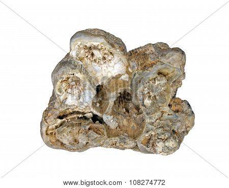 A beautiful fossilized hexacorallia in quartz