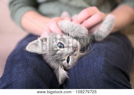 Cute little grey kitten lying on woman knees