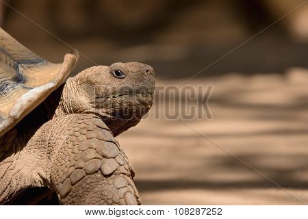 African spurred tortoise closeup