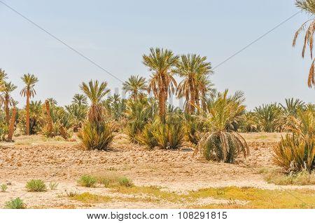 Tafilalt oasis in Morocco
