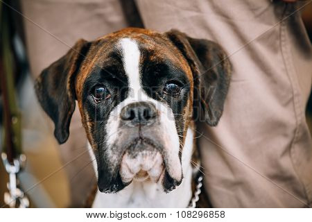 Boxer Dog Sitting near Owner