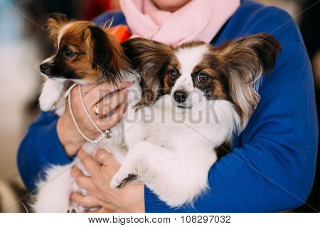 The Papillon dog also called the Continental Toy Spaniel, is a b