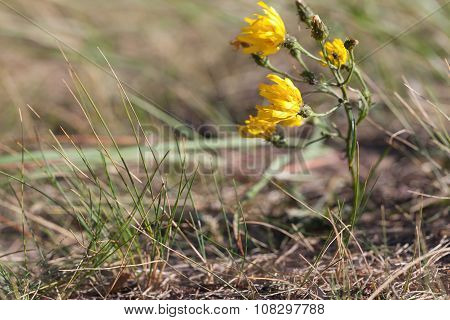 Hieracium Umbellatum L. Small Yellow Wildflowers