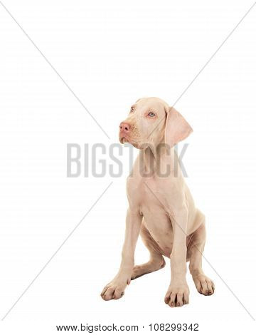 Cute sitting white great dane
