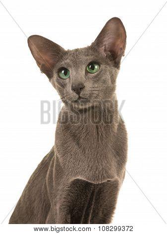 Blue siamese cat portrait