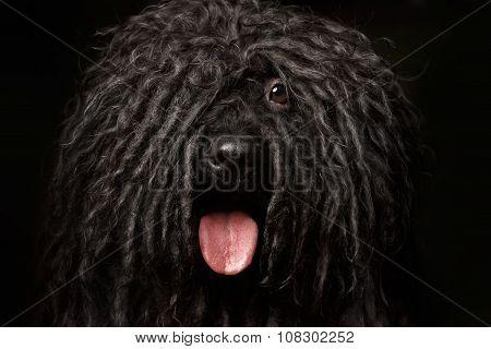 Close Up Portrait Of Puli Dog Isolated On Black