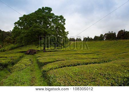 Porto Formoso Tea Plantation, Sao Migue, Azores.