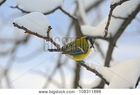 Great Tit On A Snowy Branch