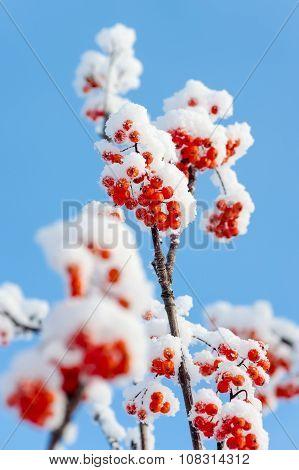 Snow-covered rowan