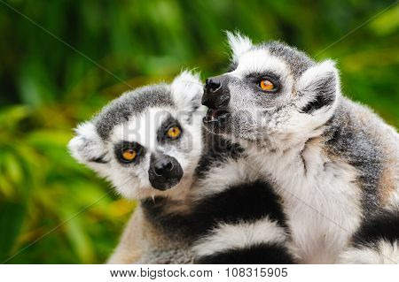 Portrait Of Two Adult Lemurs Katta (lemur Catta)