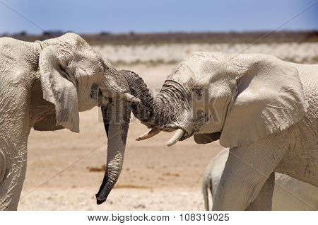 Two elephants with their trunks entwined