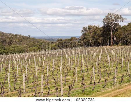 Vineyard, Margaret River Wine Region, Western Australiavineyard, Margaret River Wine Region, Western