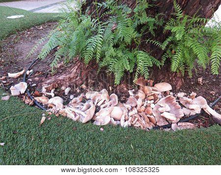 Damaged Mushrooms At Base Of Tree