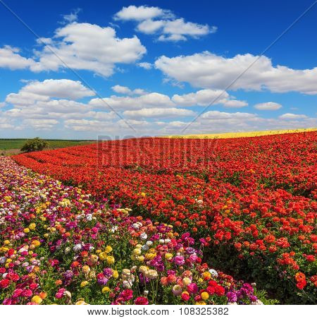 Bright festive red blooming field of buttercups. Warm spring day