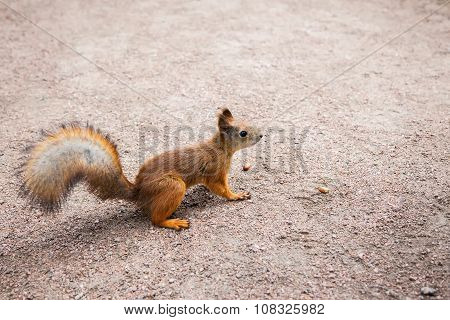 Small Red Squirrel With Peanuts