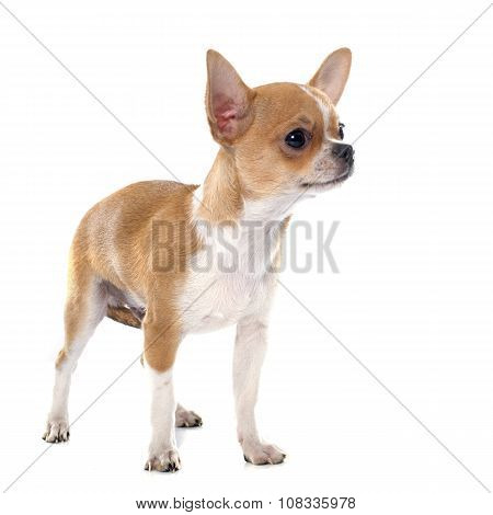 Young Puppy Chihuahua