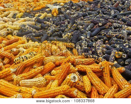Yellow and Black Indian Corn drying in the sun