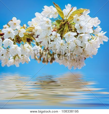 Blossoming Cherry Plum