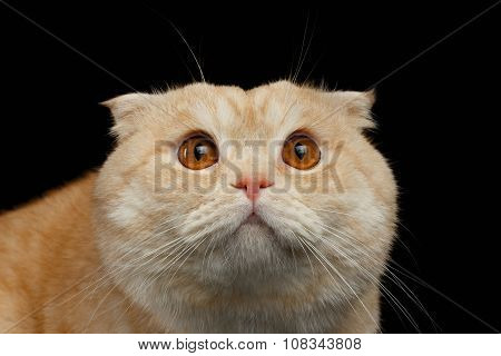 Closeup Frightened Ginger Scottish Fold Cat Isolated On Black