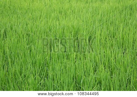 Green View Of Paddy Rice Field