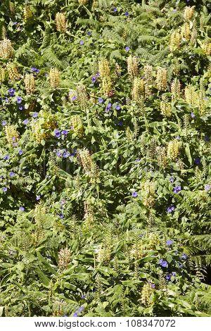 Hedychium Gardnerianum Green Vertical Forest In Flores Island, Azores. Portugal