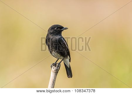 Pied Bush Chat