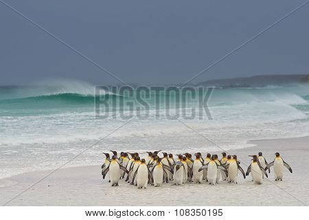 King Penguins Coming Ashore