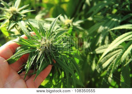 Green Marijuana Plant