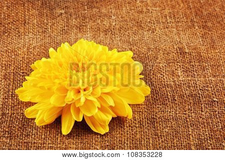 Yellow Chrysanthemum Flower