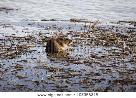 Muskrat In Pond