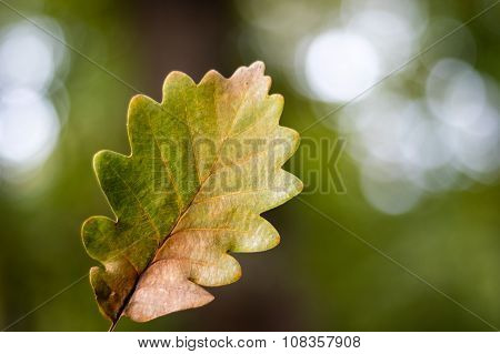 Oak Leaf In Autumn