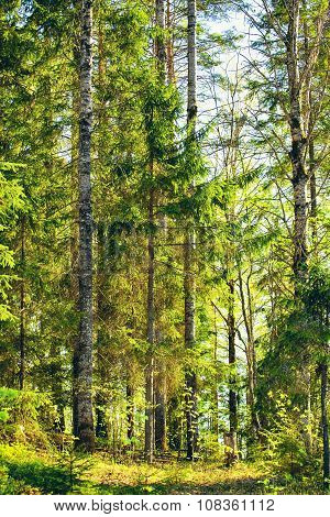 Mixed Forest at Summer