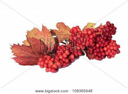 The Bright Red Berries Of Viburnum