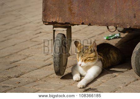 Cat Of Medina