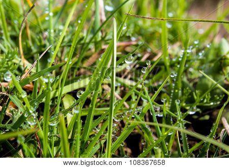 Dew On Grass. Green Grass