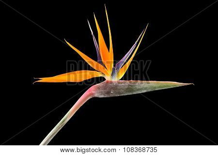 Strelitzia reginae (Bird of Paradise) on black background