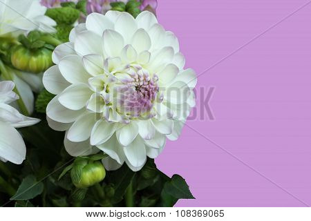 White with pink dahlia on lilac background