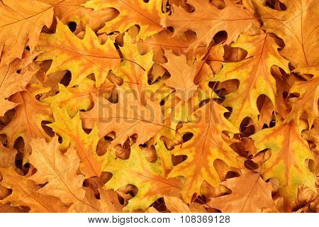 Autumn leaves background - dried brown and yellow oak leaves