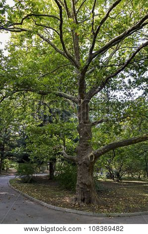 Green tree sycamore (Acer pseudoplatanus) in the park with fresh forest and path