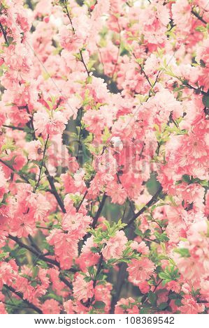 Abstract Background Soft Focused Sakura Blossoms Vintage Filtered