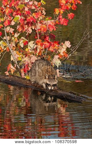 Raccoon (procyon Lotor) Reflections