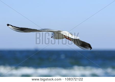 Gull Flies